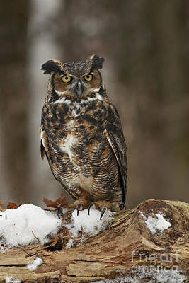 Great Horned Owl Watching You Art Print by Inspired Nature Photography Fine Art Photography