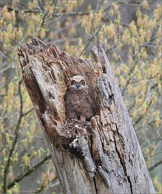 Photograph - Great Horned Owlet by Daniel Behm