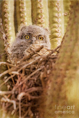 Photograph - Great Horned Owlet by Marianne Jensen