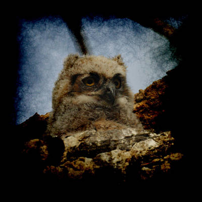 Photograph - Great Horned Owlet May 2011 by Ernie Echols