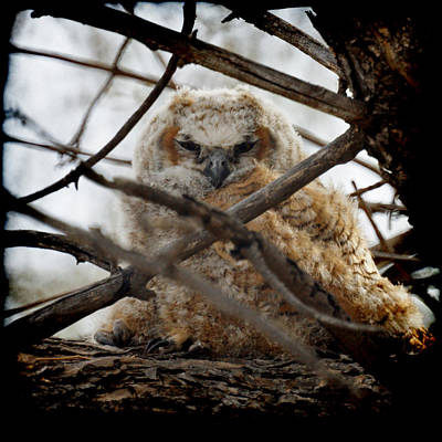 Photograph - Great Horned Owlet May 2011 Left The Nest by Ernie Echols