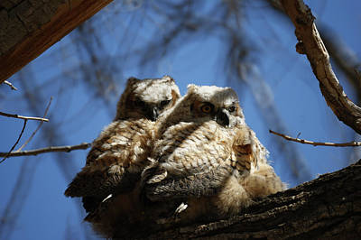 Photograph - Great Horned Owlets 1 May 2011 by Ernie Echols