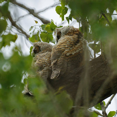 Photograph - Great Horned Owlets 5 20 2011 by Ernie Echols