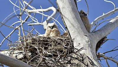 Mark Wagner Wall Art - Photograph - Great Horned Owlets by Mark Wagner