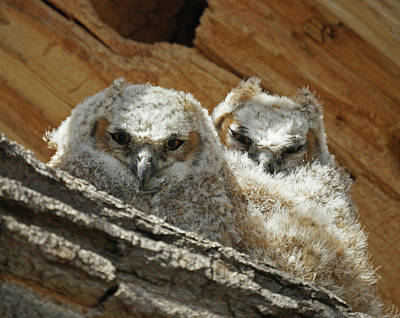 Photograph - Great Horned Owlets May 2011 by Ernie Echols
