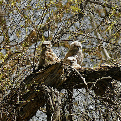 Photograph - Great Horned Owlets Photo by Ernie Echols