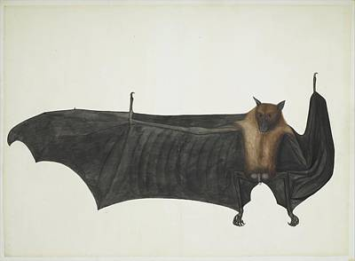 Calcutta Painting - Great Indian Fruit Bat by Painting attributed to Bhawani Das or a follower