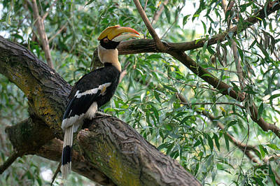Great Indian Hornbill Print by Art Wolfe