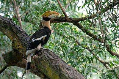 Hornbill Photograph - Great Indian Hornbill by Art Wolfe