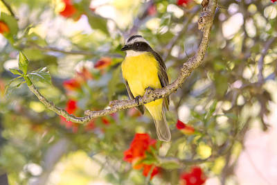 Photograph - Great Kiskadee On A Branch by Peggy Collins