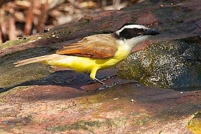 Photograph - Great Kiskadee by Stuart Litoff