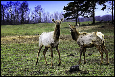 Photograph - Great Michigan Elk by LeeAnn McLaneGoetz McLaneGoetzStudioLLCcom