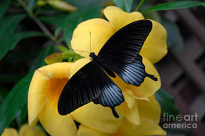 Photograph - Great Mormon Butterfly  by Eva Kaufman