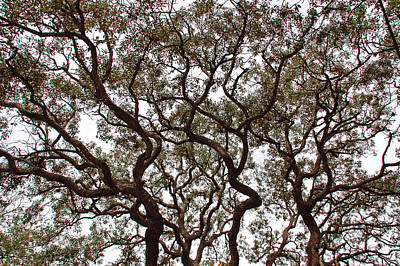 Great Oak Print by Aimee L Maher Photography and Art Visit ALMGallerydotcom
