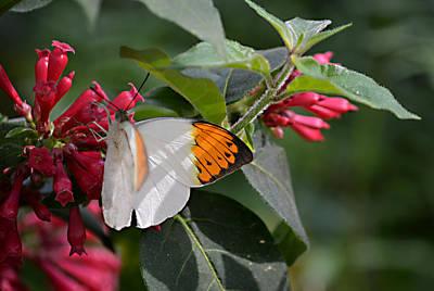 Photograph - Great Orange Tip Butterfly by Judy Wanamaker