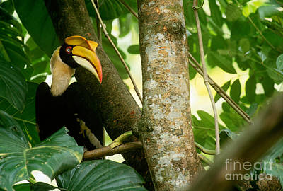 Hornbill Photograph - Great Pied Hornbill by Art Wolfe