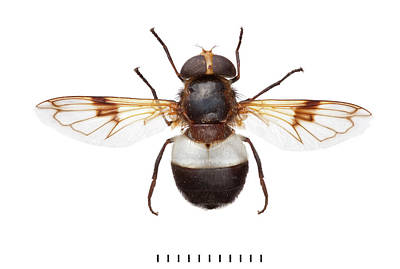 Hoverfly Wall Art - Photograph - Great Pied Hoverfly by Natural History Museum, London