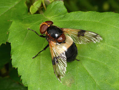 Hoverfly Wall Art - Photograph - Great Pied Hoverfly by Nigel Downer