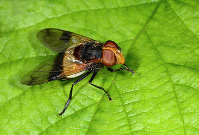 Hoverfly Wall Art - Photograph - Great Pied Hoverfly by Nigel Downer/science Photo Library