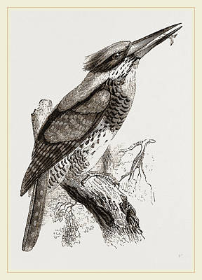 Kingfisher Drawing - Great Senegal Kingfisher by Litz Collection
