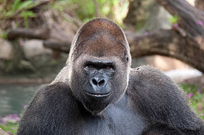 Photograph - Great Silverback Gorilla - Sim Sim by John Black