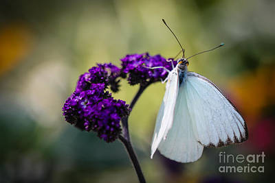 Food And Flowers Still Life Rights Managed Images - Great Southern White Ascia Monuste Royalty-Free Image by Henrik Lehnerer