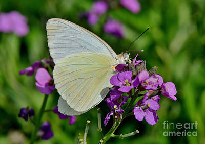 Photograph - Great Southern White Butterfly by Kathy Baccari