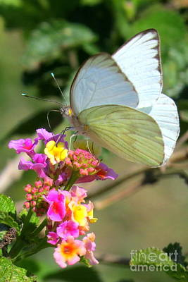 Photograph - Great Southern White by Frank Townsley
