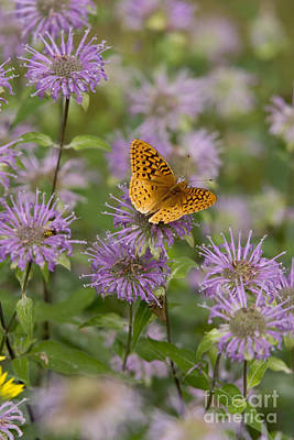 Photograph - Great Spangled Fritillary by Gregory K Scott