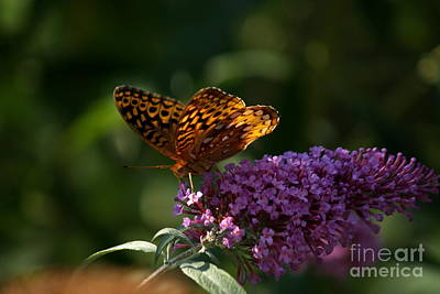 Buddleia Photograph - Great Spangled Fritillary On Butterfly Bush by Anna Lisa Yoder