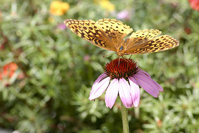 Photograph - Great Spangled Fritillary by Robert Camp