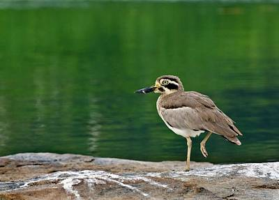 Plover Photograph - Great Stone-curlew By Water by K Jayaram