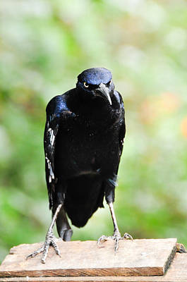 Photograph - Great Tailed Grackle by Bonnie Fink
