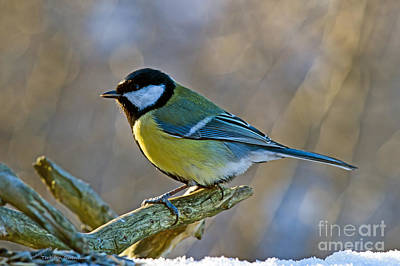 Great Tit Facing The Sun Art Print
