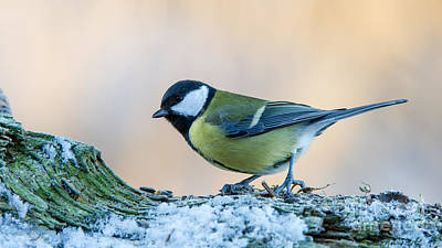 Great Tit On Snow Art Print by Torbjorn Swenelius