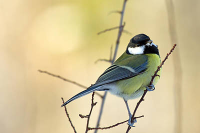 Thomas Kinkade Royalty Free Images - Great Tit on the twig Royalty-Free Image by Torbjorn Swenelius