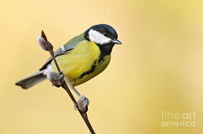 Photograph - Great Tit by Willi Rolfes