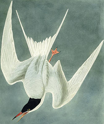 Soaring Drawing - Great Turn by John James Audubon