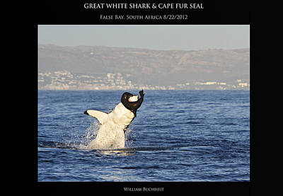 Great White And Seal Art Print by William Buchheit