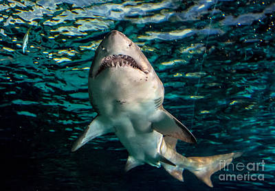 Photograph - Great White by Cheryl Baxter