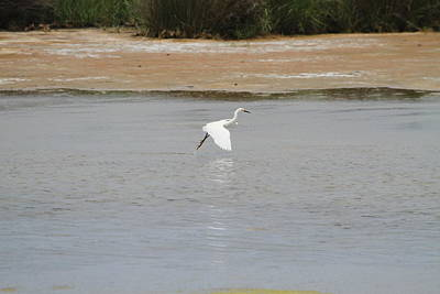 Sound Photograph - Great White Egret 12 by Cathy Lindsey