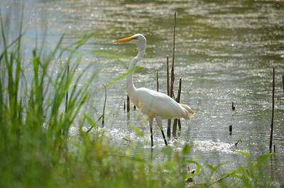 Photograph - Great White Egret 15-01 by Maria Urso