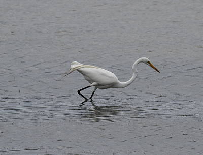 Sandy Photograph - Great White Egret 20 by Cathy Lindsey