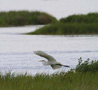 Beak Photograph - Great White Egret 22 by Cathy Lindsey