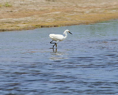 Sound Photograph - Great White Egret 27 by Cathy Lindsey