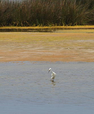Marsh Photograph - Great White Egret 3 by Cathy Lindsey