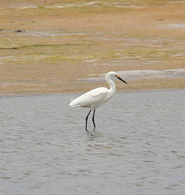 Beaks Photograph - Great White Egret 5 by Cathy Lindsey