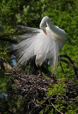 Great White Egret - Afternoon Grooming II Original by Suzanne Gaff