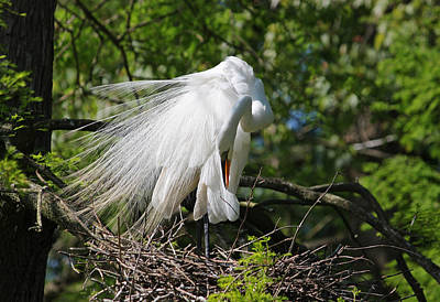 Great White Egret - Afternoon Grooming Iv Original by Suzanne Gaff