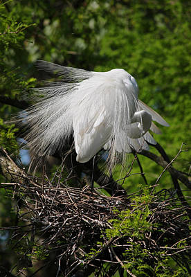Beastie Boys - Great White Egret - Afternoon Grooming by Suzanne Gaff